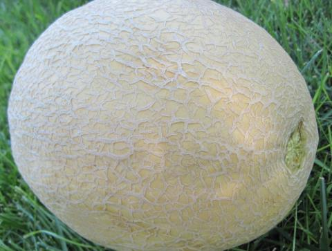 Cantaloupe, a type of Muskmelon